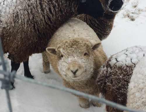 Sheep and Winter